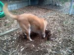 Robbie demonstrating his digging technique to the puppy