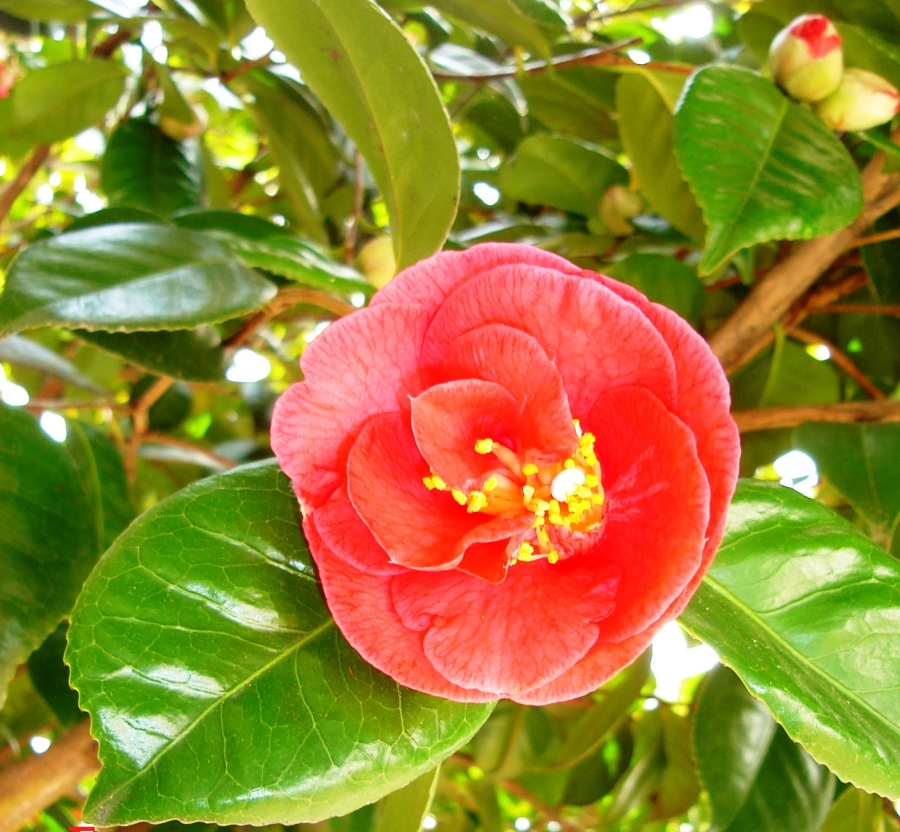 This is the big camellia at the corner of the porch. It always looks like a tropical flower to me.
