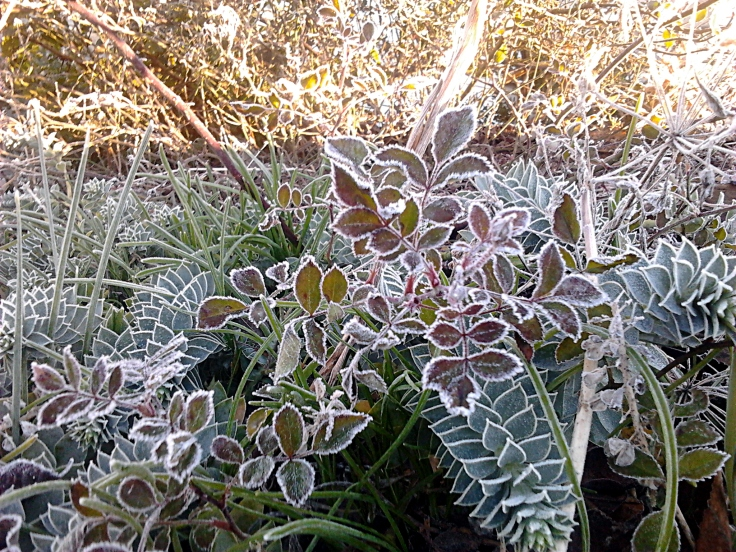 Frost on the Rose Leaves