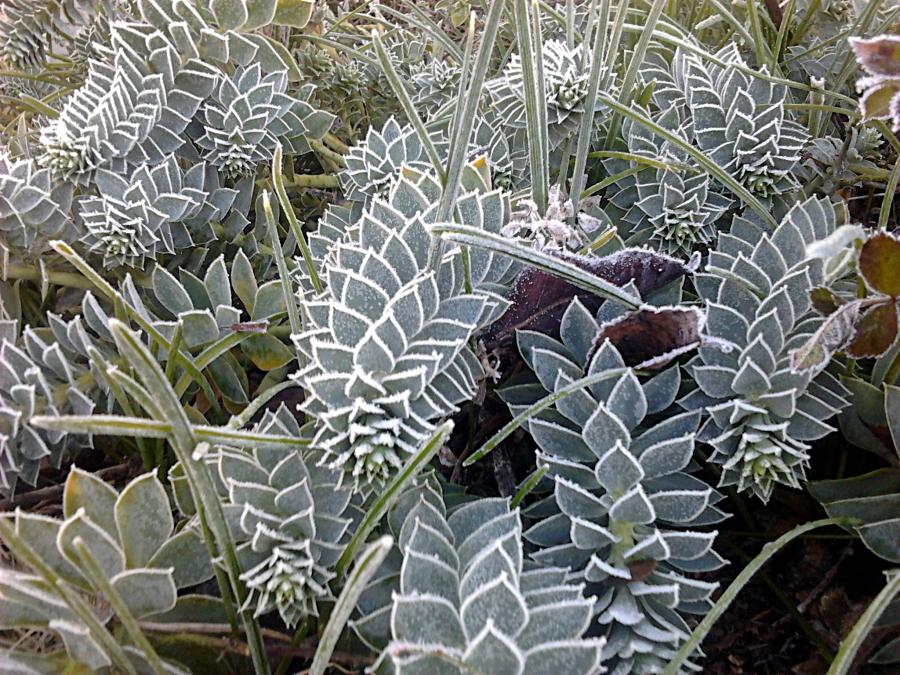 Frost Art on Unidentified Plants